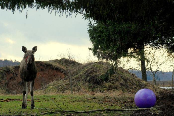 rescued-moose-visit-guy-erikas-plucas-13