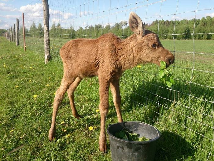rescued-moose-visit-guy-erikas-plucas-9